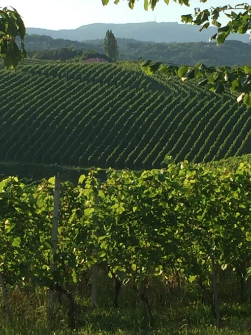 Gorgeous vineyards in Bela Krajina, Slovenia