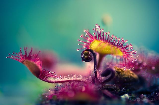 1-My-photo-series-of-carnivorous-plant-called-Drosera2__880