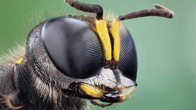 sinek-gozleri
