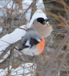 bullfinch, winter visitors, Magura transylvania, snow, Romania, Carpathian mountains, pink plumage, finches, European birds, Magura, corcodus, mirabel, cherry plum
