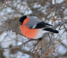 bullfinch, male plumage, pasarenes, Magura, pink feathers, snow, winter scenes