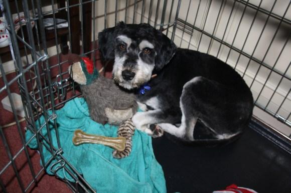 rescue dog, clipped, London, Transylvania