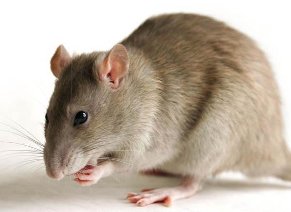 सरकारी रूग्णालयात उंदराने रूग्णाचा डोळा कुरतडला