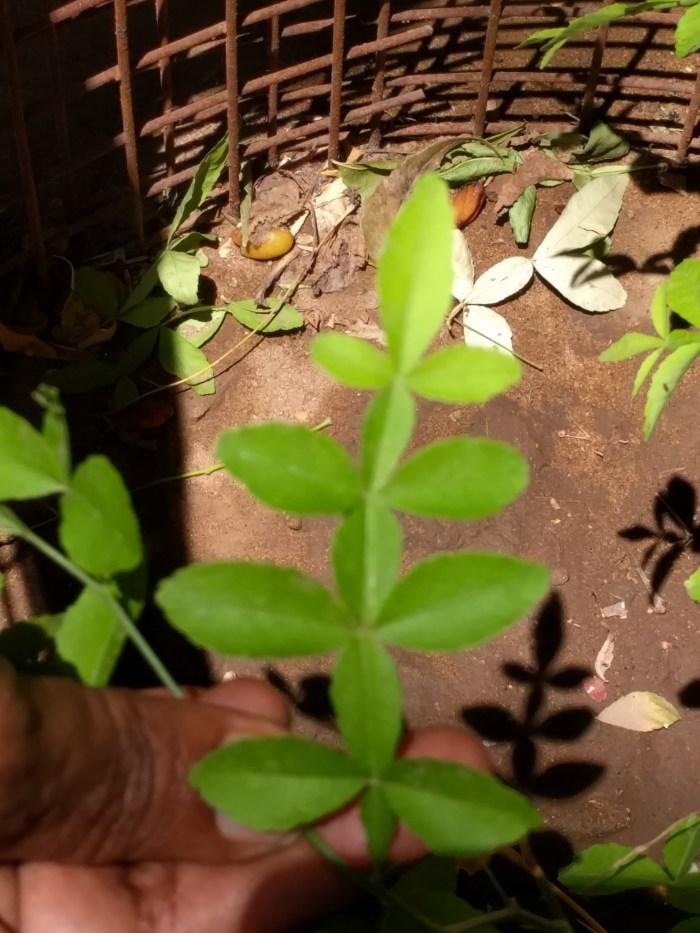 mahavilvam_plant
