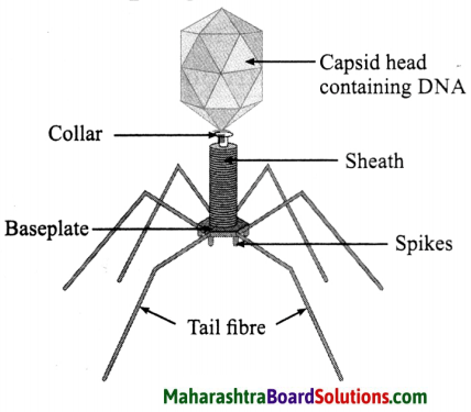 Maharashtra Board Class 8 Science Solutions Chapter 1 Living World and Classification of Microbes 6