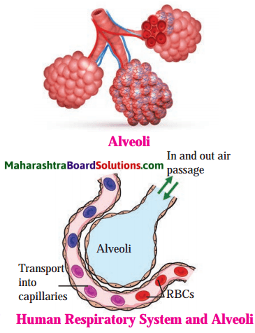 Maharashtra Board Class 8 Science Solutions Chapter 11 Human Body and Organ System 8