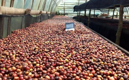 2 NegOcc coffee growers obtain 'fine' grade for robusta beans