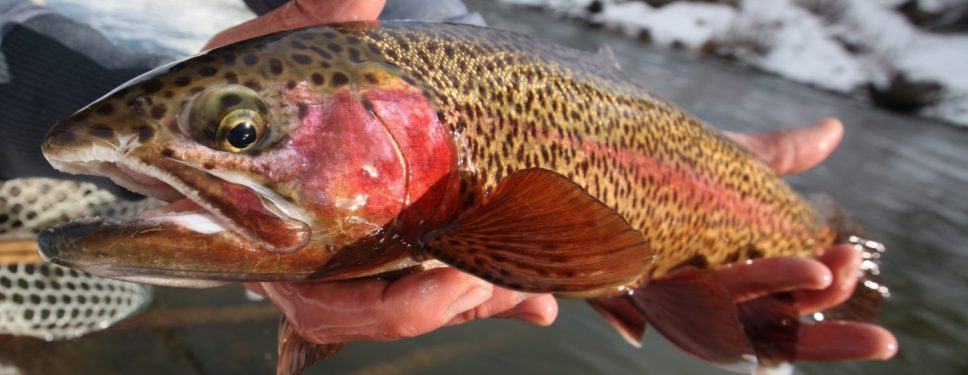 Truckee River Guided Fly Fishing