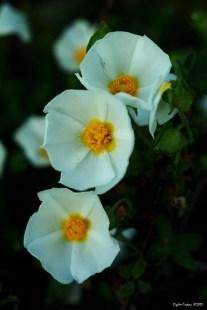 Cistus salvifolius - Salvia Cistus - Sage Leaf Rockrose - Gallipoli Rose - Laden - Gelibolu Gülü - Adaçayı Yapraklı Laden - Beyaz Pamukluk - Pamukla - - Adaçayı Yapraklı Karağan - Tavşanak