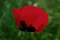 Poppy - subplant of the Papaveroideae family