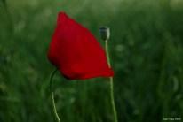 Poppy -subplant of the Papaveroideae family