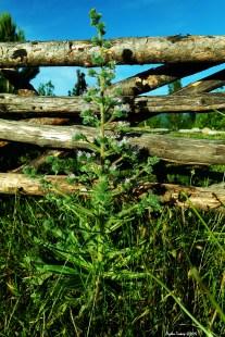 Echium italicum L. / Echium plantagineum L. - Italian Viper's Bugloss - Pale Bugloss - Purple Bugloss - Lady Campbell Weed - Riverina Bluebell - Salvation Jane - Ayıkulağı - Bal çiçeği - Tilki kuyruğu - Sığır Kuyruğu - Engerek Otu