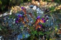 Anchusa officinalis L. - Common alkanet - Common bugloss - Sığırdili