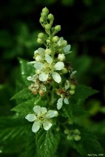Blackberry - Rubus fruticosus? / Rubus canascens? - Böğürtlen