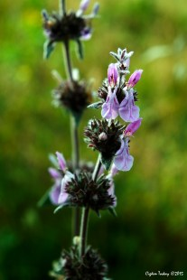 Salvia mellifera - Black Sage - Siyah Adaçayı