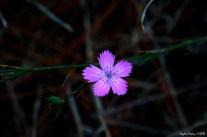 Dianthus caryophyllus - Pink Carnation - Pembe Karanfil