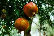 Punica granatum - Pomegranate - Nar