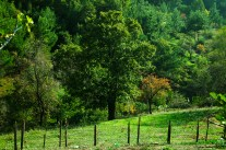 Oak and Wild Pear trees - Meşe ve Ahlat ağaçları