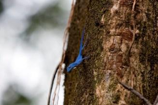 Anolis gorgonae - Gorgona Island, Colombia