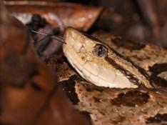 Bothrops asper - Rio Palenque, Ecuador