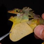 Anolis fraseri - Otongachi, Ecuador