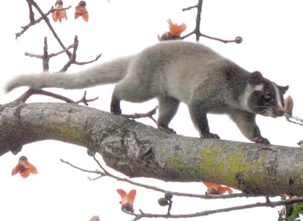 الزباد المقنع Masked palm civet