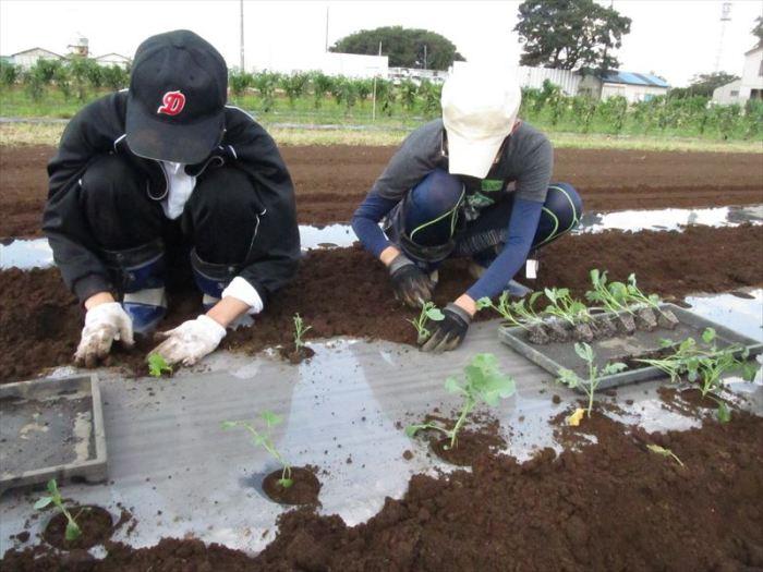 苗植え作業