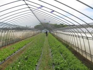 レタス畑の雑草取り