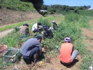 草取り芋ほり