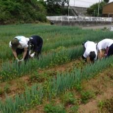 2018年5月26日 福姫会【渡邉農園】援農ボランティアin神奈川県三浦市