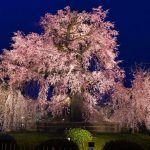 Gion Weeping cherry tree