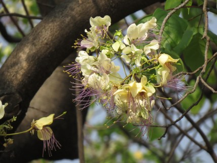 """Close up of Salimbobog flowers Its other name """"Balai Lamok"""" may refer to the insects flying around the blooms which are NOT actually lamok (mosquitoes)!"""