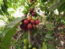 Ripening coffee berries!