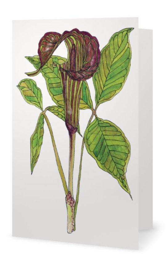 Jack-in-the-Pulpit: Arisaema triphyllum