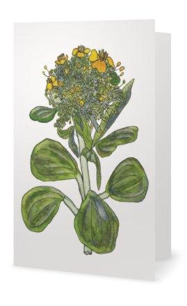 Tatsoi: Brassica narinosa