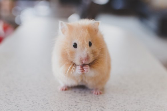 What Sticky Emotions Tell You About Who You Really Are (hamster)