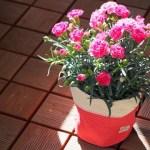 鉢植え カーネーション 咲かない