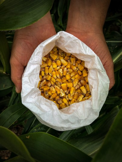 Dried Corn Kernels used to make tortillas, the foundation of Mexican Food
