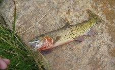 Biggest wild trout I've ever caught. And first cutthroat. Thanks, Lawn Lake.