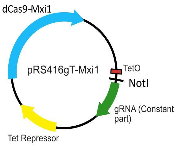 one plasmid system for regulatable CRISPRi in yeast