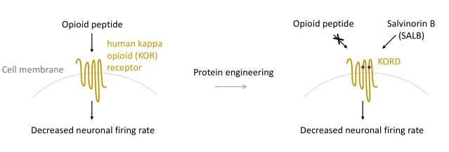 Mechanism of KORD