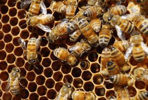 Honeybee with mite