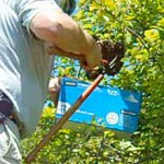 Carefully trimming the swarm-occupied branch into a box
