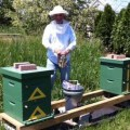Lawrence Furbish enjoying his new apiary, back in Maine.