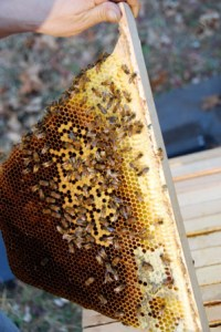 Brood Comb in a (Kenya) Top Bar Hive in Maine