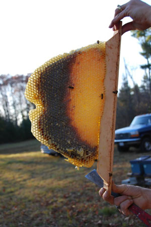 Comb From A (Kenya) Top Bar Hive In Maine