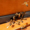 Honey Bees Coming in for a Landing