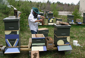 Erin Forbes installs nucleus colonies, hives in that SARE apiary. Spring 2009.