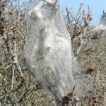 Browntail moths in mid-coast Maine: How to protect your hives during a pesticide spray