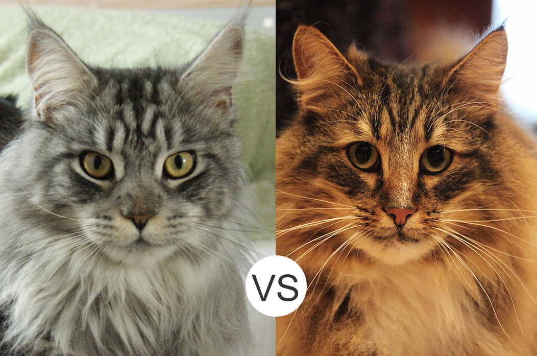 Maine Coons Vs Norwegian Forest Cats